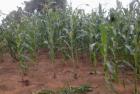 Zelf maïs verbouwen